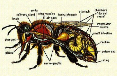 The anatomy of a honeybee