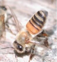 A honey bee 'fanning' in order to release pheromones.