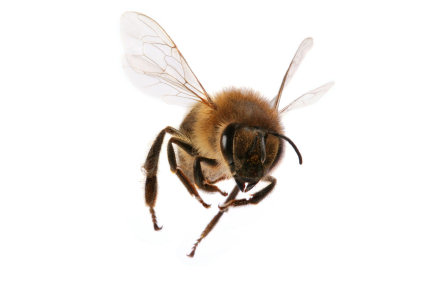 A honeybee in flight