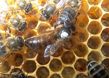 A Queen surrounded by Workers on honeycomb