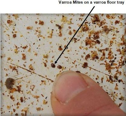 Varroa mites on a varroa floor tray