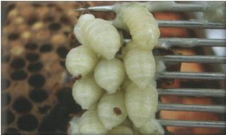 Drone Pupa with mites