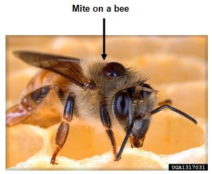 Mite on a bee