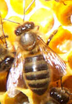 A Worker bee in the hive